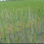 PAU Experts caution against Direct Sowing of Rice before June 1