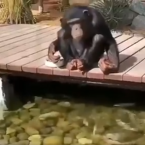 Chimpanzee feeds fishes in a heart-warming video