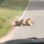 Viral video shows python coiled up around deer, clip sparks debate on Twitter