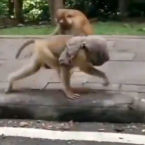 Monkey uses T-shirt as a face mask | Video will leave you amused