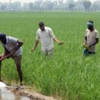 Farmers who cultivate maize except paddy to get financial assistance of Rs. 23,500 per hectare